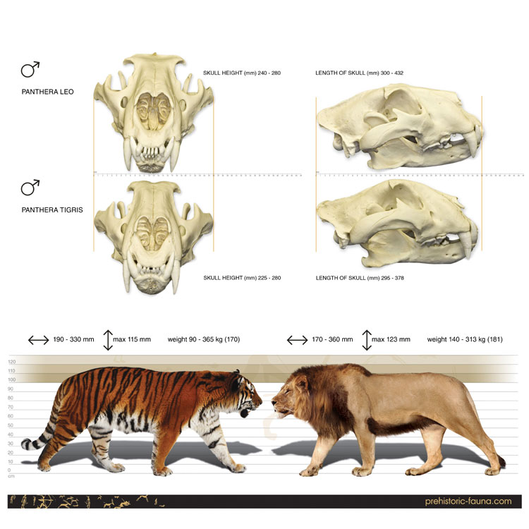 lion and tiger sizes