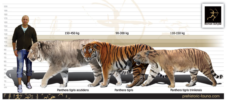 Largest siberian tiger ever recorded